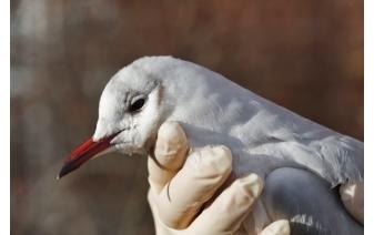 Bird management program in Ann Arbor.